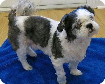 Shih Tzu Dog for adoption in High Point, North Carolina - Twister