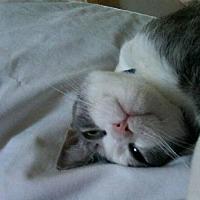 Adopt A Pet :: Bat Cat- PA - Liberty, NC