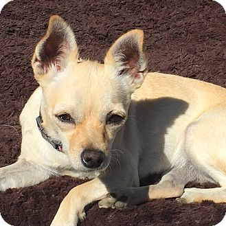 Chihuahua Mix Dog for adoption in Rancho Cucamonga, California - DOLLY