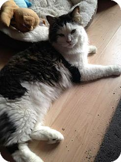 Domestic Mediumhair Cat for adoption in Rochester Hills, Michigan - Griffen