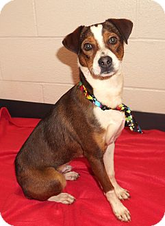 Jack Russell Terrier Mix Puppy for adoption in Lexington, North Carolina - CORKY