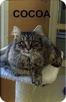 Domestic Longhair Kitten for adoption in Medway, Massachusetts - Cocoa