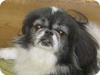 Pekingese Mix Dog for adoption in Rockville, Maryland - BB