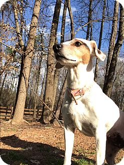 Jack Russell Terrier Dog for adoption in Gillsville, Georgia - Lilly