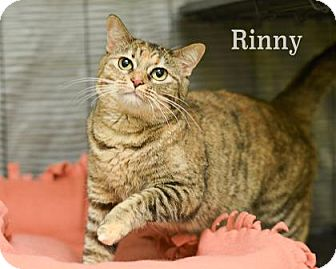 Domestic Shorthair Cat for adoption in West Des Moines, Iowa - Rinny