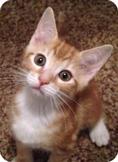 Domestic Shorthair Kitten for adoption in Gainesville, Florida - Bubbles