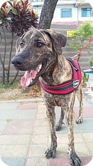 Plott Hound Mix Dog for adoption in San Francisco, California - Ben