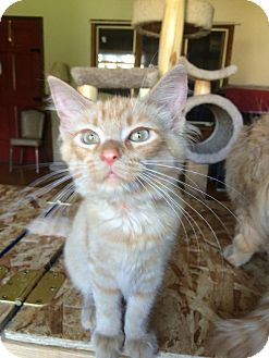 Domestic Shorthair Kitten for adoption in Salem, Ohio - sage