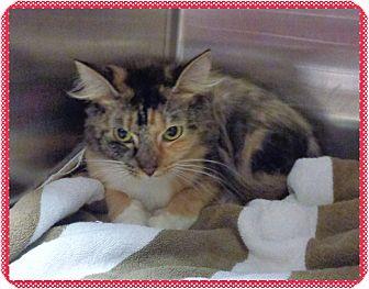 Domestic Mediumhair Cat for adoption in Marietta, Georgia - PRINCESS (R)