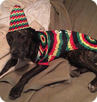 Whippet/Terrier (Unknown Type, Medium) Mix Dog for adoption in Allentown, Pennsylvania - Lil'bit