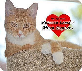 Domestic Shorthair Kitten for adoption in San Leon, Texas - Jude