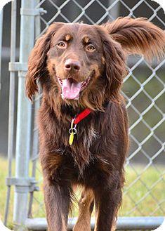 Spaniel (Unknown Type) Mix Dog for adoption in Brooksville, Florida - SIR WILLIAM