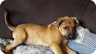 Shepherd (Unknown Type) Mix Puppy for adoption in Hainesville, Illinois - Bashful