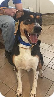 Australian Cattle Dog Mix Dog for adoption in Middletown, New York - Chance