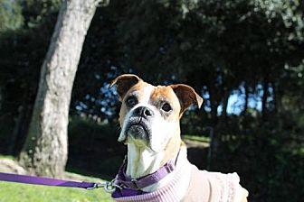 Boxer Dog for adoption in Alameda, California - Dorothy