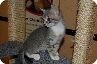 Domestic Shorthair Kitten for adoption in Whittier, California - Aston