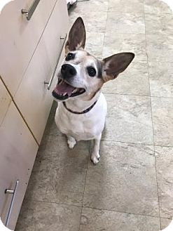 Rat Terrier Mix Dog for adoption in Chicago, Illinois - Tammy 2