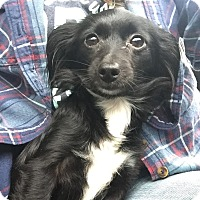 Adopt A Pet :: Lil' Noir - Baltimore, MD