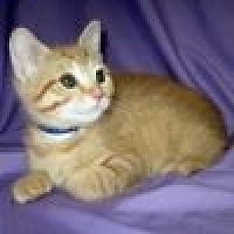 Domestic Shorthair Cat for adoption in Powell, Ohio - Thatcher