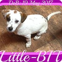 Adopt A Pet :: Little-BIT - White River Junction, VT