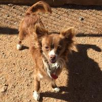 Adopt A Pet :: Babs - Las Cruces, NM