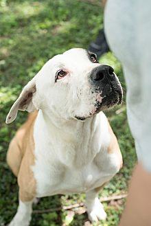 American Bulldog Mix Dog for adoption in Key Biscayne, Florida - Bones