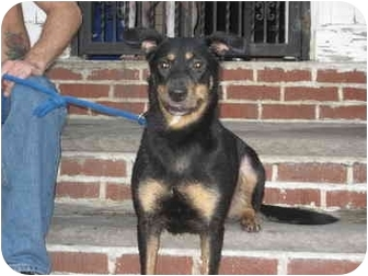 Shepherd (Unknown Type) Mix Dog for adoption in Long Beach, New York - Donna