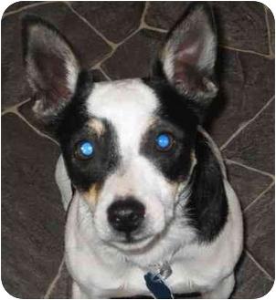 Rat Terrier Dog for adoption in Columbus, Nebraska - Oliver