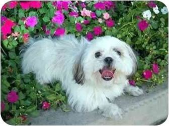 Shih Tzu Dog for adoption in Los Angeles, California - EMI