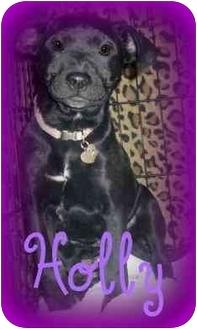 Labrador Retriever Mix Puppy for adoption in Haughton, Louisiana - Lucky Dog (Holly)