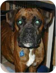Boxer Dog for adoption in Waterford, Michigan - Tigger*ADOPTED*