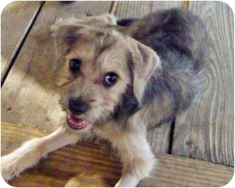 Schnauzer (Standard)/Terrier (Unknown Type, Medium) Mix Puppy for adoption in Austin, Texas - Helen