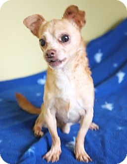Chihuahua Mix Dog for adoption in Philadelphia, Pennsylvania - Spike