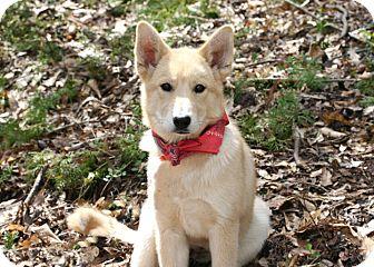 Husky/Labrador Retriever Mix Puppy for adoption in Cleveland, Georgia - Honey