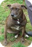 Australian Cattle Dog Mix Dog for adoption in Allentown, Pennsylvania - Smores ($100 off)