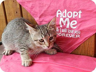 Domestic Shorthair Kitten for adoption in Lawrenceburg, Tennessee - Sheba
