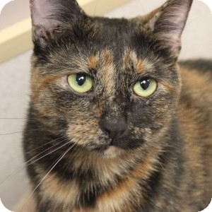 Domestic Shorthair Cat for adoption in Naperville, Illinois - Clover