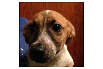 Hound (Unknown Type) Mix Puppy for adoption in Pompton Lakes, New Jersey - Charlie