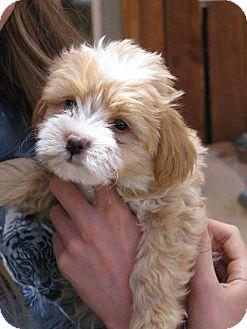 Golden Retriever/Shih Tzu Mix Puppy for adoption in Colorado Springs, Colorado - Golden 4