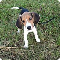 Adopt A Pet :: Luke Skywalker - Brattleboro, VT