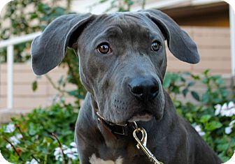 Weimaraner/American Staffordshire Terrier Mix Puppy for adoption in Los Angeles, California - Stella Blue