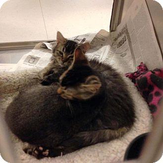 Domestic Mediumhair Kitten for adoption in Anoka, Minnesota - Kia