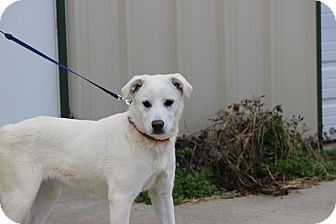 Shepherd (Unknown Type) Mix Puppy for adoption in Waterbury, Connecticut - Snow