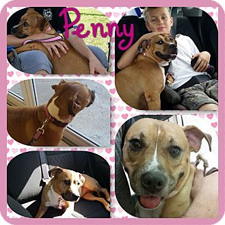 Pit Bull Terrier/Hound (Unknown Type) Mix Dog for adoption in Loxahatchee, Florida - Penny