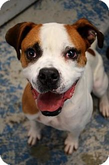 Boxer/Pit Bull Terrier Mix Dog for adoption in Fort Smith, Arkansas - Ooge