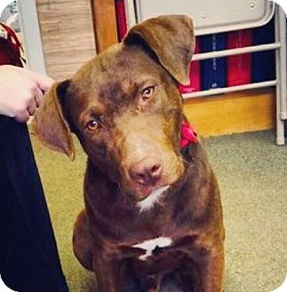 Labrador Retriever Mix Dog for adoption in Memphis, Tennessee - Zeke