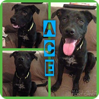 Labrador Retriever Mix Dog for adoption in East Hartford, Connecticut - Ace in CT