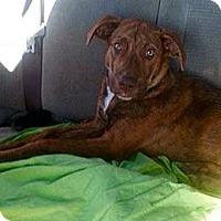 Adopt A Pet :: LACEY - Waterbury, CT