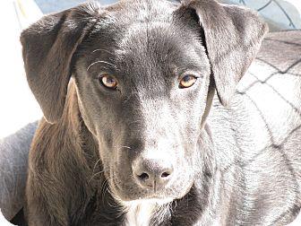 Labrador Retriever Mix Dog for adoption in South Dennis, Massachusetts - Shiloh