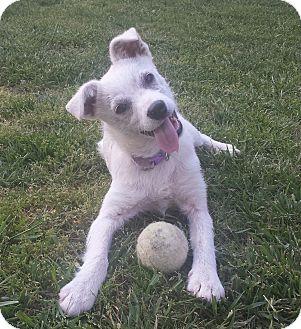 Schnauzer (Standard)/Terrier (Unknown Type, Medium) Mix Puppy for adoption in Brattleboro, Vermont - Little Bit